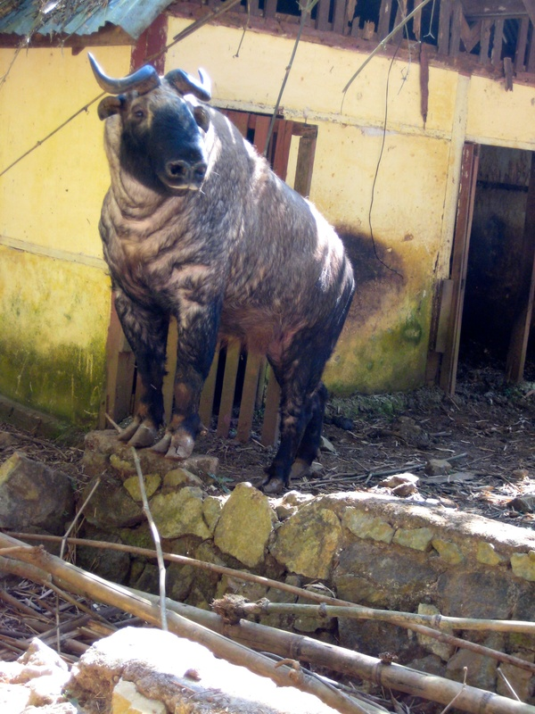 The very rare Takin